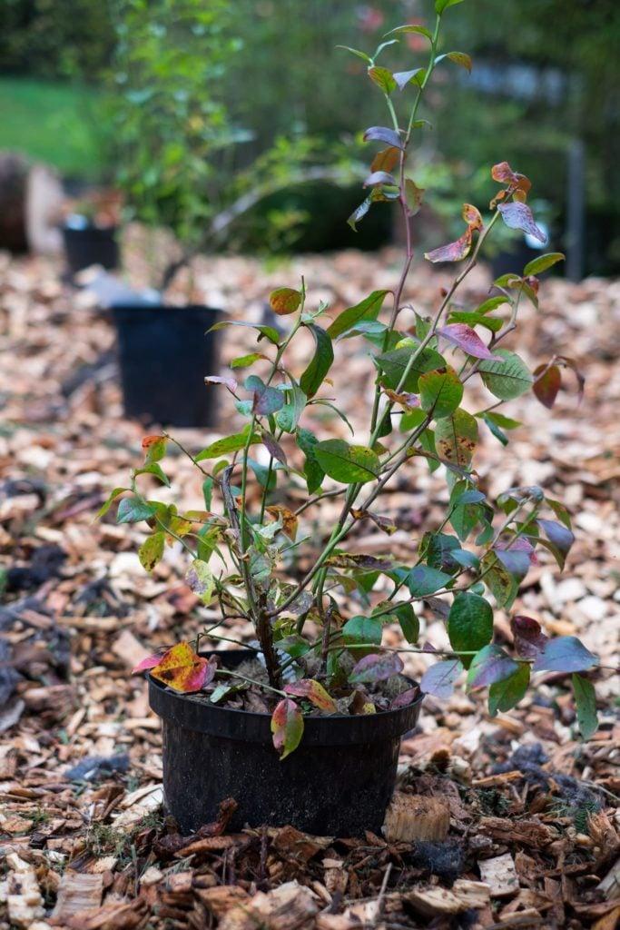 Heidelbeeren bereit zum einpflanzen ins Sauerbeet.