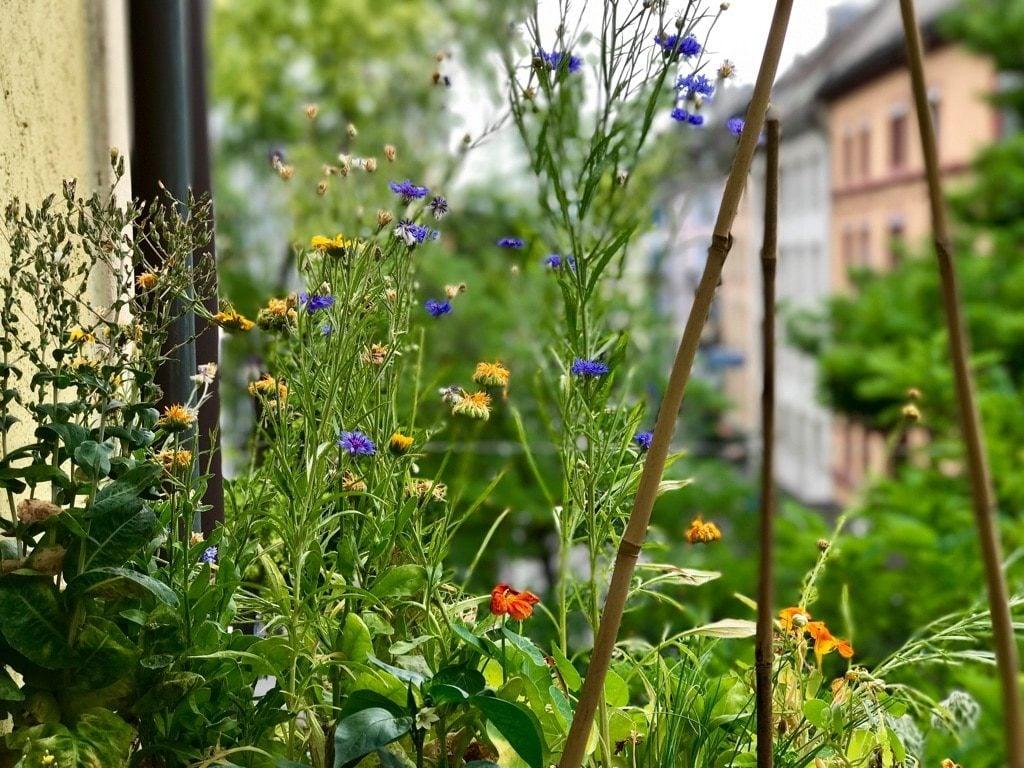 Farbenfrohe Mischkultur auf Silvans Balkon in Zürich